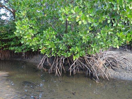 Mangrove, Forest, Swamp, Aerial Roots, Karwar, India