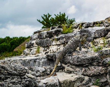 Iguanas, Lizards, El Ray, Mexican Ruins Tropical
