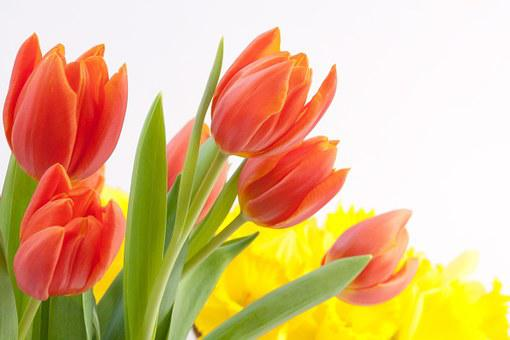 Tulips, Bouquet, Spring, Osterglocken, Nature, Flowers