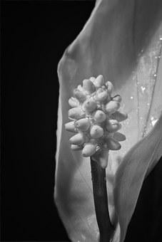 Peace Lily, Blossom, Bloom, Flower Flask, Macro