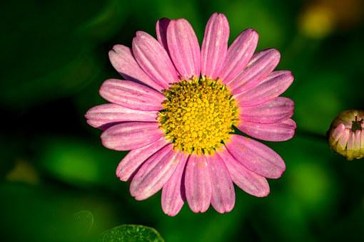 Leucanthemum, Pink-margerite, Flower Basket