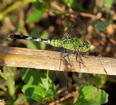 Dragonfly, Pondhawk, Pondhawk Dragonfly