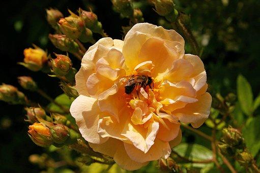 Ghischlaine De Filigonde, Rose, Rampler Rose, Rampler