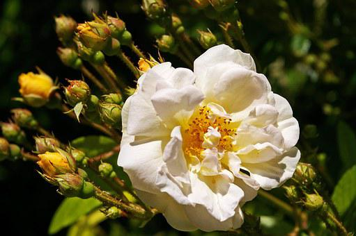 Ghislaine De Filigonde, Rose, Rampler Rose, Rampler