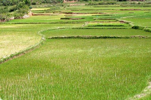 Rice, Field, Plantation, Agriculture, Plant, Landscape
