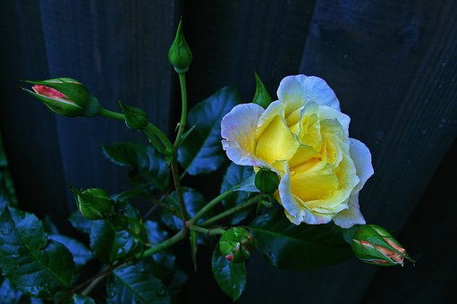 Rose, Tender, Flower Bed, Rose Garden, Nature, Garden