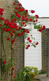 Rose, Roses, Flower, Flowers, Red, Beautiful, Nature