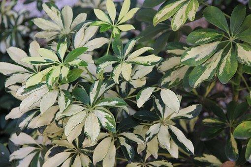 Schefflera, White-green Leaves, Leaves, Plant, Nature