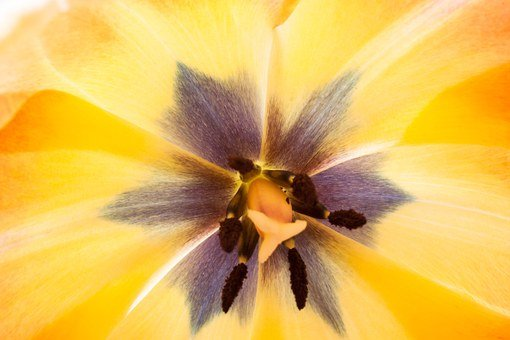 Tulip, Stamp, Stamens, Lily, Spring, Nature, Flower