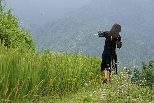 Rice, Terrace, Sapa, Vietnam, Landscape, Field