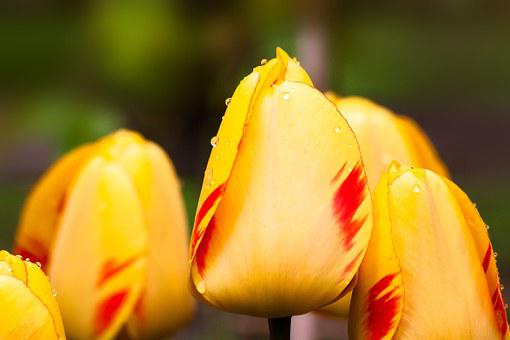 Tulips, Lily, Nature, Flowers, Schnittblume, Blossom