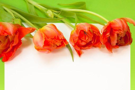 Tulips, Spring, Text Box, Nature, Flowers, Schnittblume
