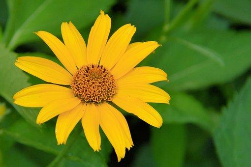 Sun Flower, Blossom, Bloom, Yellow, Yellow Flowers