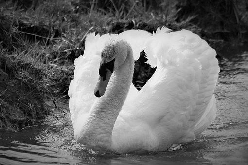 Swan, Water Bird, Nature, Bird, Animal, Animal World