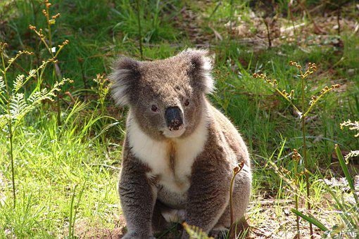 Koala, Australia, Marsupial, Wildlife, Nature, Animal