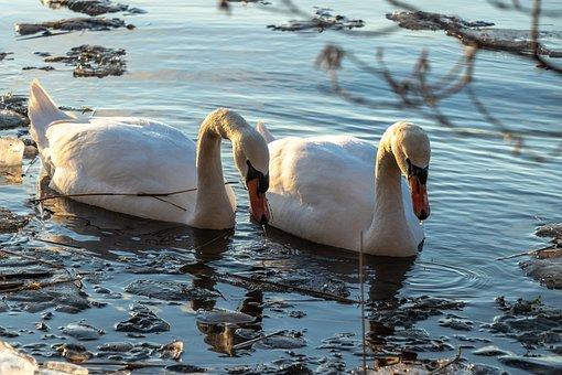 Swans, Water, Swan, Nature, Bird, Lake, Plumage, Pen