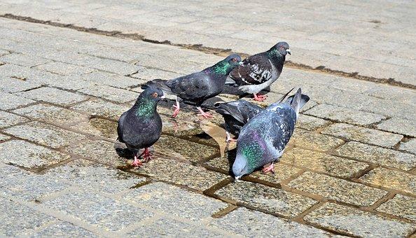 Pigeons, Birds, City, Kraków, The Market, Drinking