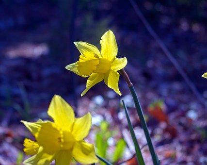 March Daffodils, Garden, Bloom, Plant, Flowers, Blossom