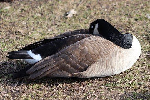 Goose, Water Bird, Wild Goose, Canada Goose, Sleep