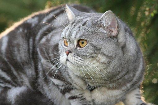 Cat, Domestic Cat, Cat's Eyes, Cat Face, Eyes, View