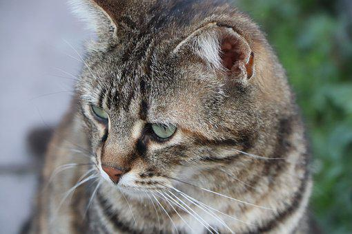 Cat, Beautiful, Animal, Cute, Scott, Dangerous