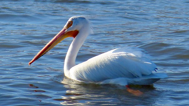 Animal, Bird, Pelican, Colorful, Bill, Feathers, Wings