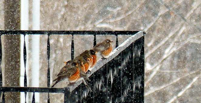 Animal, Bird, Robin, Flock, Winter, Cold, Snow