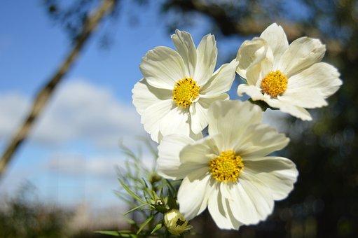 Flower, Cosmos, Macro, Garden, Flower Bed, Summer