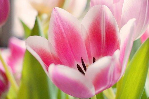 Tulip, Flower, Tulips, Spring, Garden, Nature, Pink