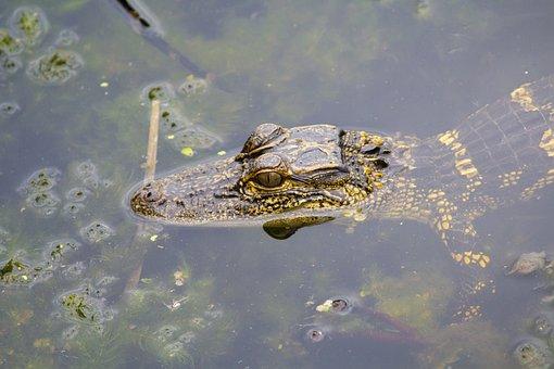 Alligator, Gator, Baby, Eyes, Face, Water, Head, Nose