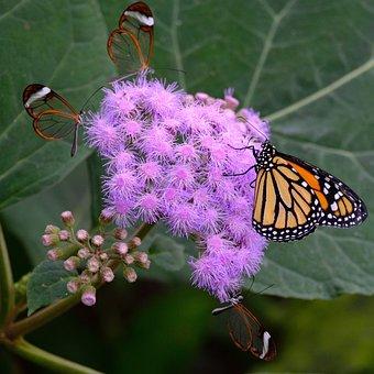 Butterfly, Monarch, Butterflies, Glass Wing Butterfly