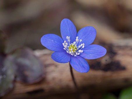 Hepatica, Hepatica Nobilis, Early Bloomer