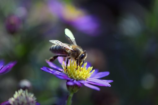 Bee, Wild Bee, Nature, Insect, Close Up, Blossom, Bloom