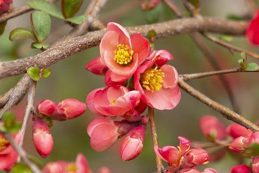 Japanese Quince, Flower, Shrub, Bush, Red, Spring