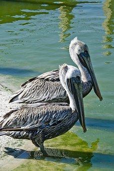 Pelican, Brown Pelican, Wading, Florida, Brown, Large