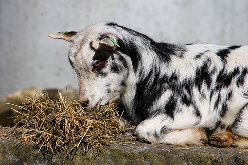Goat, Domestic Goat, Young, Kid, Farm, Livestock, Fur