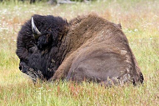 Bison, Buffalo, Lying Down, Nature, Wild, Mammal