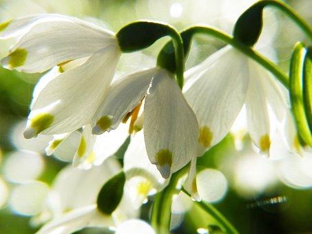 Snowflake, Macro, Spring, Fruehlingsknotenblume