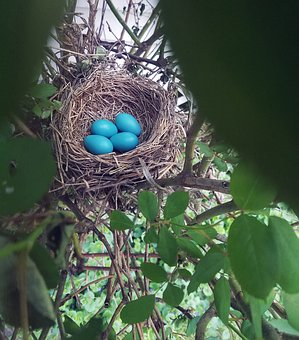 Nest, Eggs, Robin, Bird, Bush, Trees, Nature, Easter