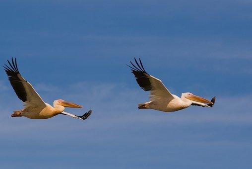 Wildlife, Bird, Nature, Animal, Wild, Outdoors, Pelican