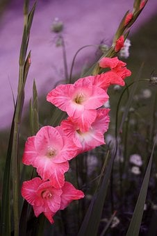 Pink Gladiola Flower, Gladiola, Flower, Red Flower