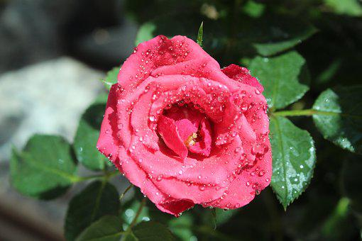 Rosa, Petal, Floral, Flower, Roses, Nature, Petals
