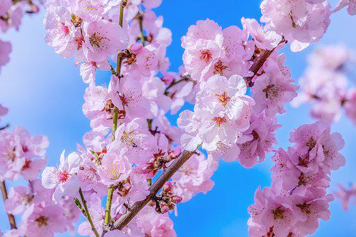 Japanese Cherry, Tree, Spring, Branch, Cherry Blossom