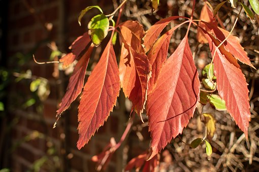 Leaves, Red, Wall, Brick, Spring, Summer, Autumn