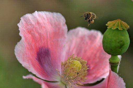 Bee, Bee Flight, Blossom, Bloom, Nature, Spring, Pollen