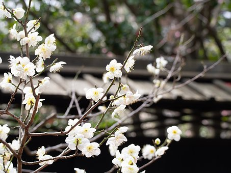 Spring, Plum, Flowers, Plum Blossoms, White, Natural