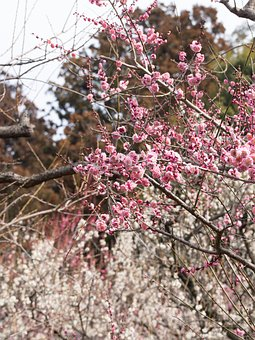 Red And White, Plum, Spring, Plant, Japanese Style