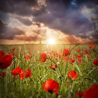 Poppy, Field Of Poppies, Red, Evening Sun, Sunset, Sky