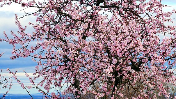 Almond Tree, Blossom, Bloom, Spring, Nature, Tree