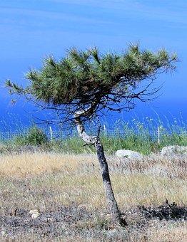 Tree, Pine, Conifer, Lonely, Coast, Sky